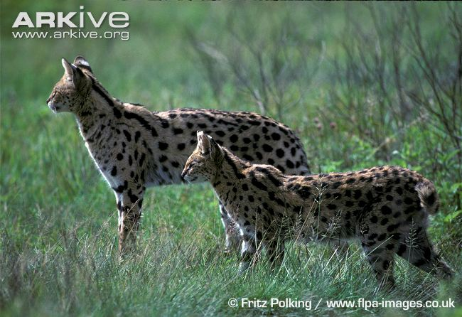 Serval Physical Characteristics