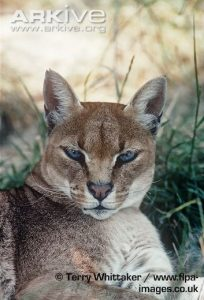 African Golden Cat Facial Characteristics
