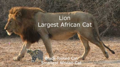 African wild cats big and small