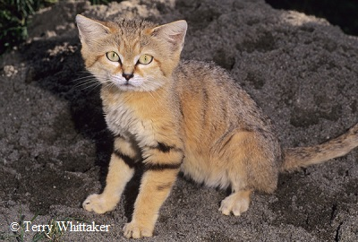 Sand Cat Information And Facts Cats For Africa