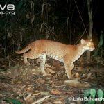 African Golden Cat Characteristics