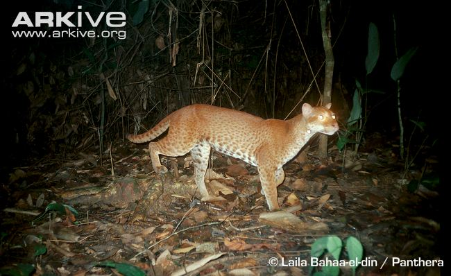 African Golden Cat Physical Characteristics