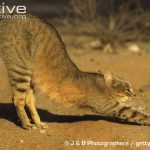 African Wildcat Physical Characteristics