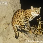 Black-footed Cat Characteristics