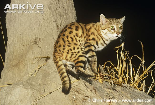 Black-footed Cat Physical Characteristics