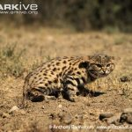 Black-footed Cat Hunting