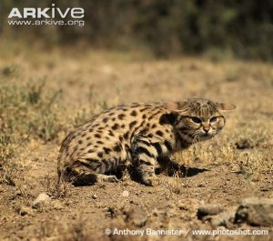 Black-footed Cat Facial Characteristics
