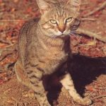 African Wildcat Facts