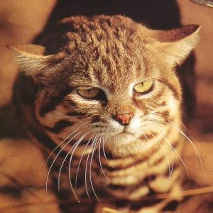 Black-footed Cat (Felis nigripes)