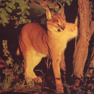 Interesting posts about the Caracal Cat