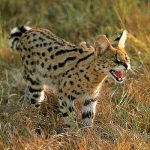African Serval Cat Facts