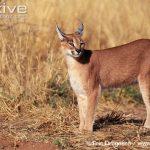 African Caracal Cat Characteristics