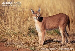 Caracal Physical Characteristics