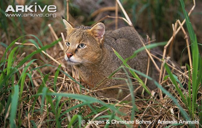 Jungle Cat in Grassland Habitat