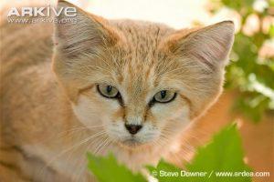 Sand Cat Facial Characteristics