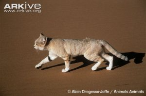 Sand Cat Physical Characteristics