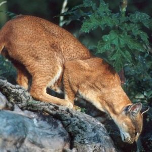 African Golden Cat (Caracal aurata)