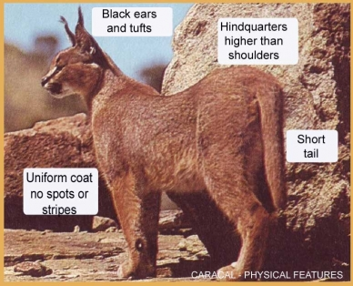 Caracal Physical Characteristics Cats For Africa