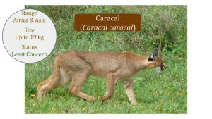 Caracal-Lineage-Caracal-genus-African-Caracal-cat