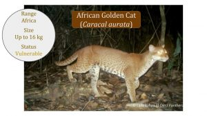 Caracal-Lineage-Caracal-genus-African-Golden-Cat