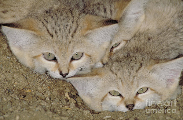 Sand Cat Felis Margarita by Art Wolfe