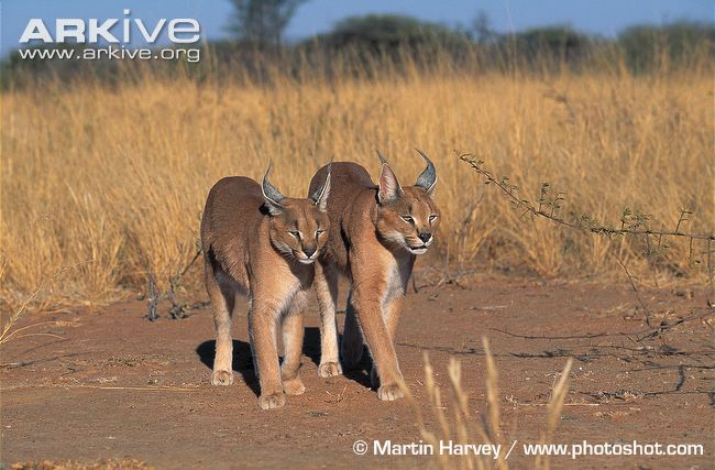 Caracal siblings walking