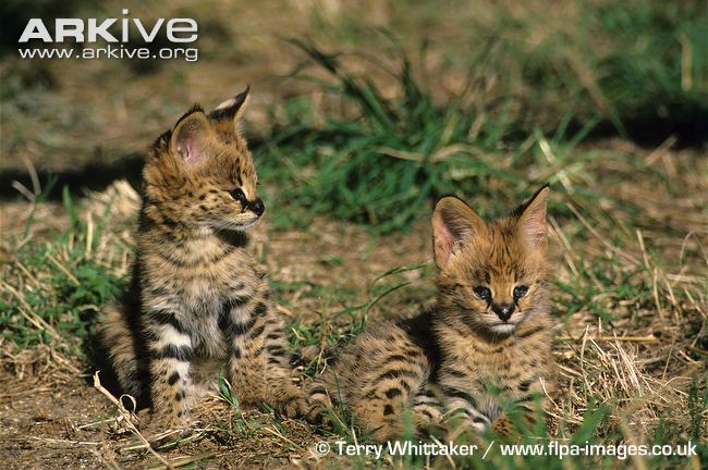 Eight-week old serval kittens