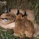 African Caracal Cat Reproduction