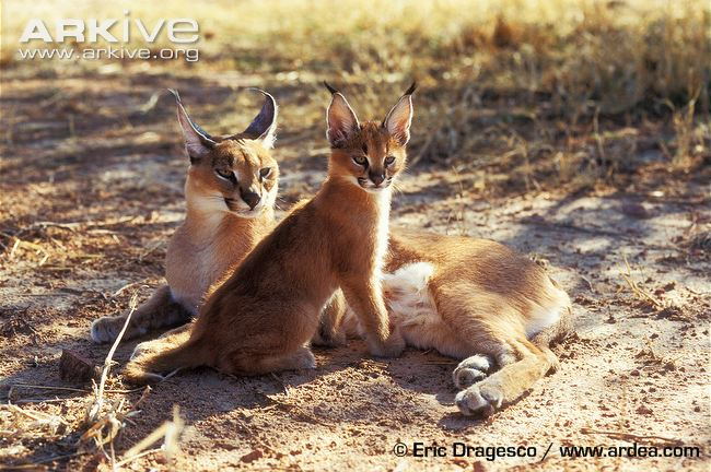 Female caracal with young