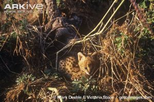 Young serval cub in den