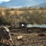 African Caracal Cat Videos
