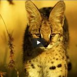 African Serval Cat Videos