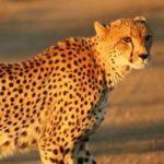 African Cheetah (Acinonyx jubatus)
