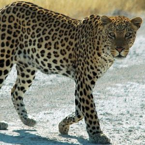African Cats List ~ List of African Wild Cats ~ Cats For Africa