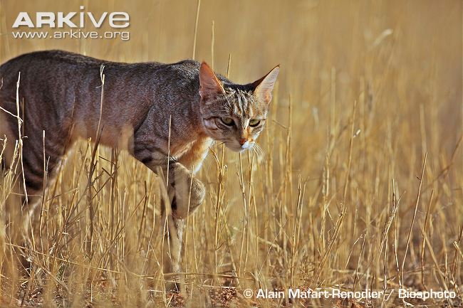 African Wildcat stalking in long grass ~ Arkive
