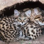 Black-footed Cat Reproduction