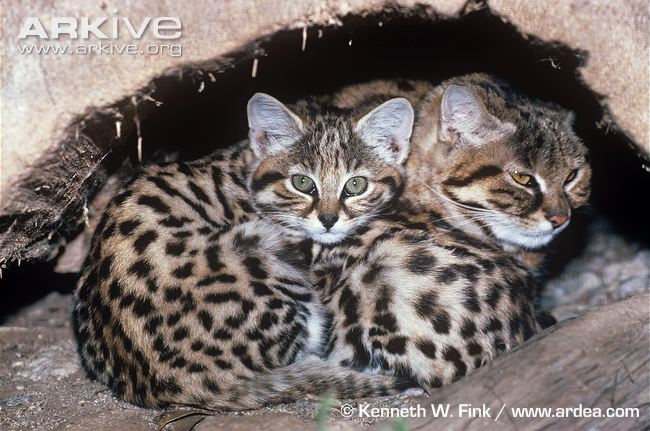 Black-footed Cat with Kittens