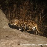 Black-footed Cats at Den in Anthill