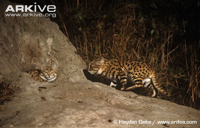 Black-footed Cats at Den