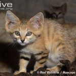Sand Cat Reproduction
