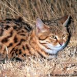 Male Black-footed Cat