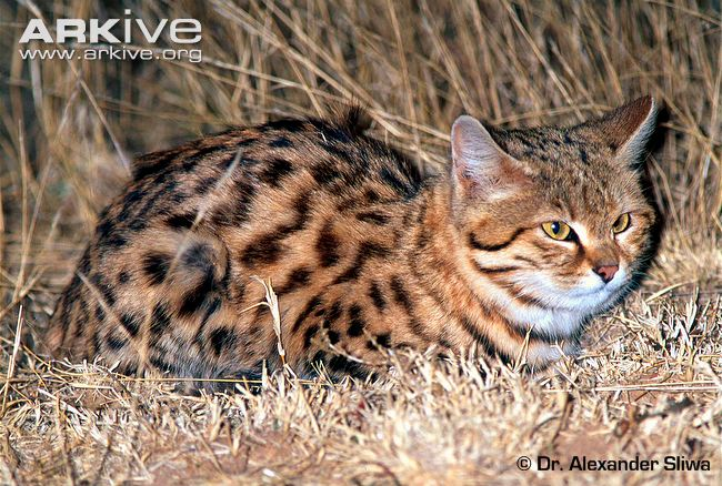 Black-footed Cat (Felis nigripes) in Dry Grassland Habitat