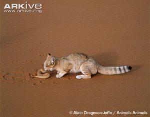 Sand Cat feeding on Viper