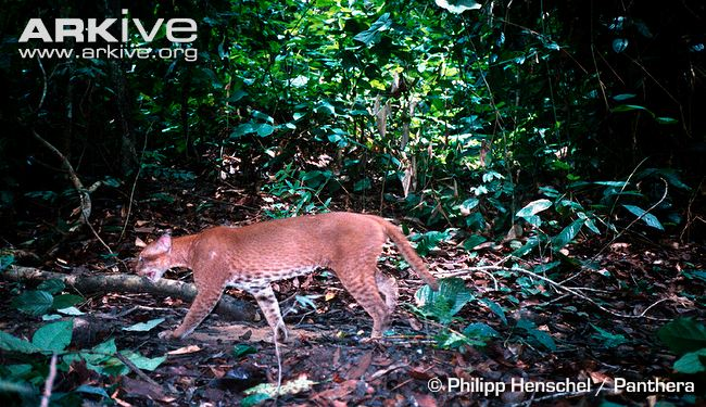 African Golden Cat in Forest Habitat