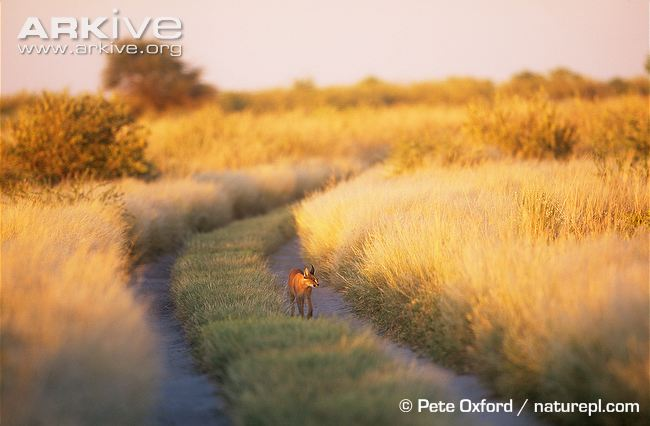 Caracal in savanna habitat