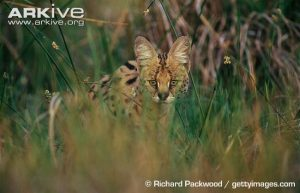 Serval Habitat