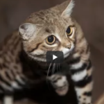 Black-footed Cat Videos