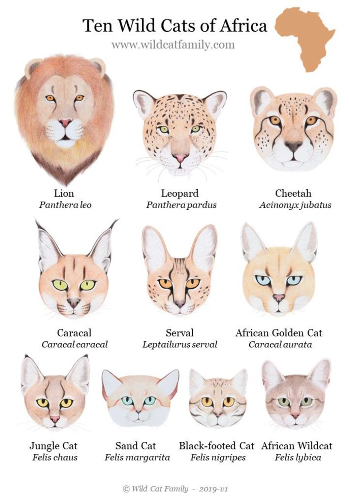 Ten Wild Cats of Africa Chart / Poster