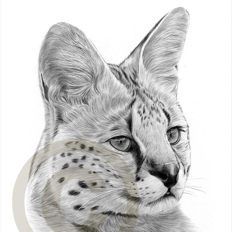 African Serval Cat Drawing