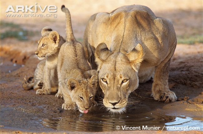 African lion reproduction - litter size is usually two to four cubs.